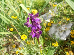 Dactylorhiza maculata (?)/ Heath spotted-orchid・ダクティロリザ・マクラタ