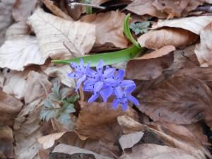 Scilla bifolia/ Alpine squill/ シラー・ビフォリア
