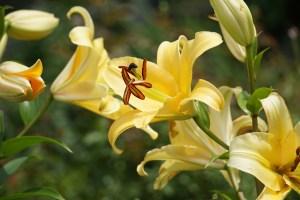 Lilium oriental-trumpet hybrids/ Oriental Trumpet hybrid/ オリエンタルトランペットハイブリット/