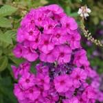 Phlox paniculata/ Garden phlox/ クサキョウチクトウ