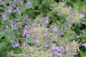 Nepeta × faassenii/ Catmint/ キャットミント