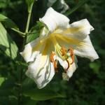 Lilium auratum var. platyphyllum/ サクユリ