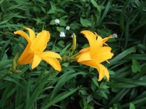 Hemerocallis dumortieri var. esculenta/ Daylily/ ゼンテイカ