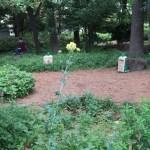 Thalictrum aquilegiifolium var. intermedium/ Columbine meadow-rue/ カラマツソウ