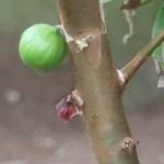Plinia cauliflora/ Jabuticaba/ ジャボチカバ