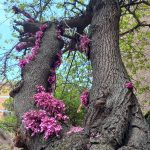 Cercis siliquastrum/ Judas tree/ セイヨウハナズオウ