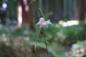 Anemonopsis macrophylla/ False anemone/ レンゲショウマ 蓮華升麻