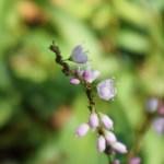 Polygonum conspicuum/ Vietnamese coriander/ サクラタデ
