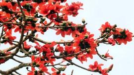 ગુજરાતના આ વૃક્ષો હવે આપણને તસવીરોમાં જોવા મળશે