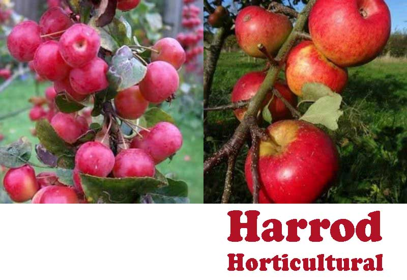 15 Best UK Apple Trees from Harrod Horticultural
