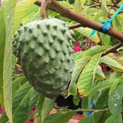 Annona atemoya, Lakshmana phal ( Grown through seeds ) - Plant