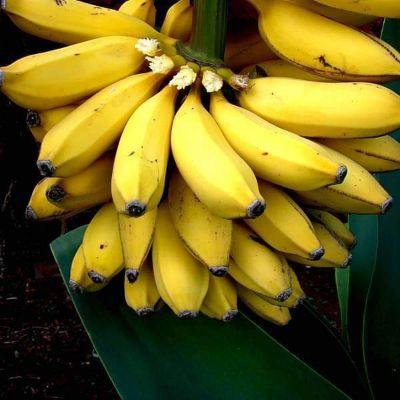 Banana - G9, Kela - Plant