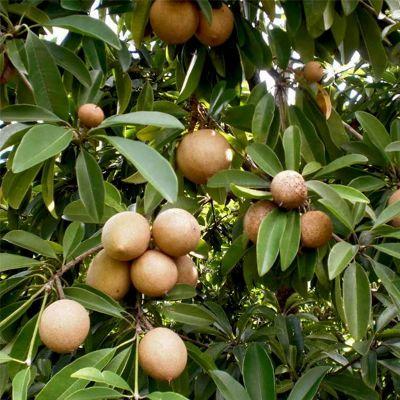 Chikoo, Sapota, Chiku Fruit (Grafted) - Plant