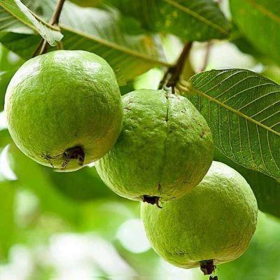 Guava Tree, Amrud, Psidium guajava (Sardar L49, Grown through seeds) - Plant