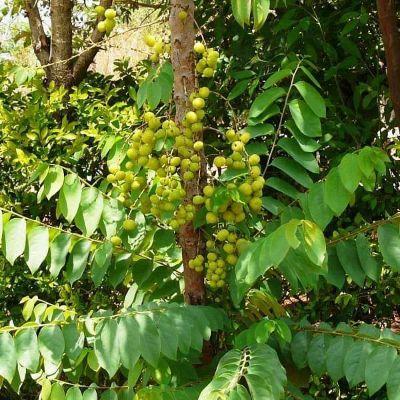 Harfarauri, Star gooseberry (Grafted) - Plant