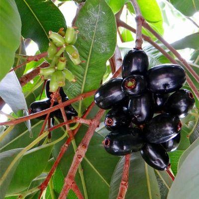 Jamun Tree, Syzygium cumini - Plant