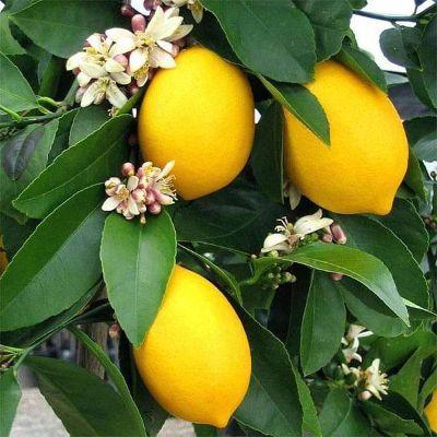 Kagzi Nimboo, Lemon Tree - Plant