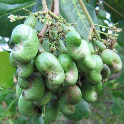 Kaju Tree - Plant