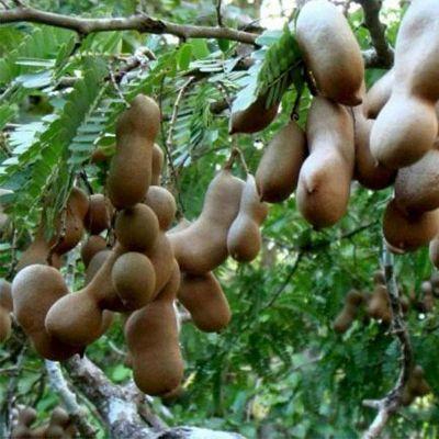 Tamarind, Imli, Tamarindus indica - Plant