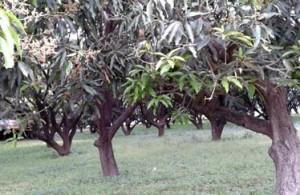 08-04-15 Kshetriya Lucknow - Mango 1 web