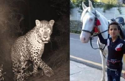 Snow leopard, leopard, Galiyat, Abbottabad, Sufiyan, killed