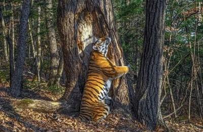 Tiger, hugging tree, hug, 2020 wildlife photographer award
