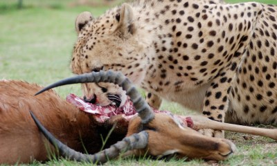 What do cheetahs eat