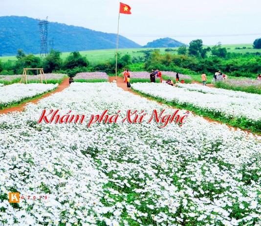 Hoa cúc hoạ mi - Nghĩa Đàn, Nghệ An