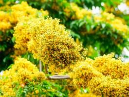 Hoa giáng hương
