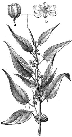 Corchorus capsularis L.