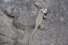 Iguana Madness 017