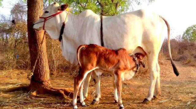 पशुपालन की सरकारी योजनायें : पशुधन बीमा योजना,मैत्री योजना,ग्रामीण बैकयार्ड कुक्कुट विकास योजना की जानकारी हिंदी में पढ़ें Animal husbandy govt schemes