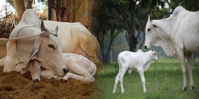 नन्दी शाला योजना पशु पालन की सरकारी योजनाओं के बारे में हिंदी में जाने 1