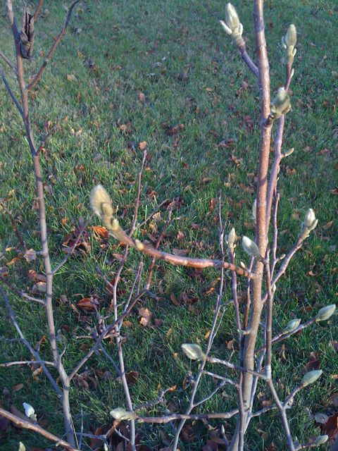 Magnolia branches with buds