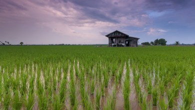 Photo of Cambodian rice voted the best on the planet for three years straight