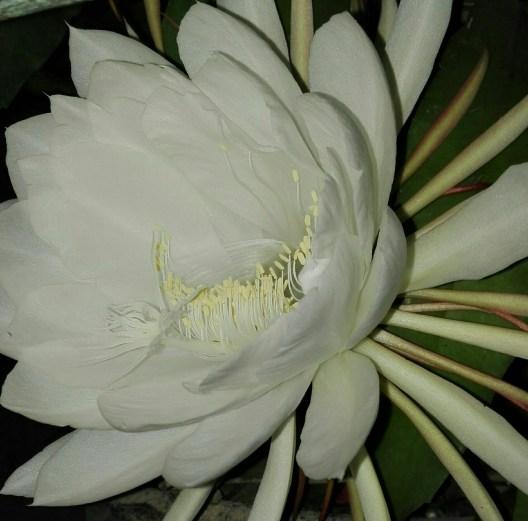 Bunga