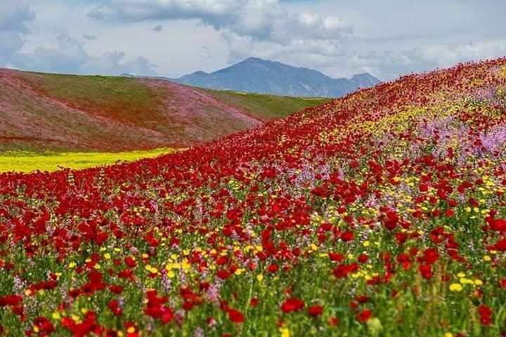 Маковые поля Таджикистан