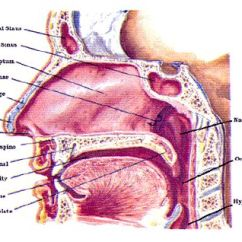Diagram Of Mouth And Throat 2010 Honda Civic Wiring Types Singing, With Tips