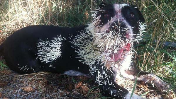 Image result for image dog porcupine