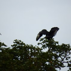 Vulture spreading its wings