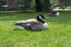 Canadian Goose???