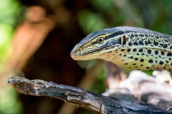 Yellow Spotted Monitor