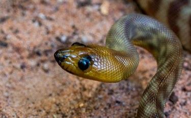?? Burton's legless Lizard
