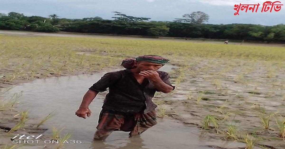 পাইকগাছার পৌরসভা সংলগ্ন শিবসা নদী দখল করে ধান চাষ khulna tv