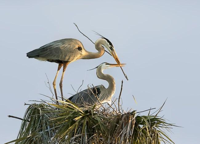 KimNhung - heron3 - building nest