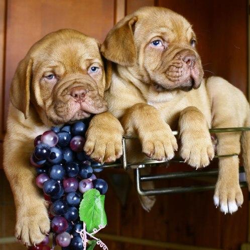 Dogs cann't eat Grapes-Khurki.net