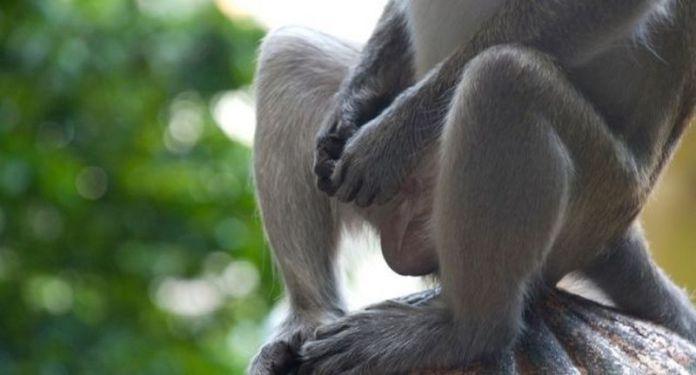 monkeys-masturbate-khurki.net