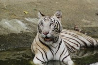 Here's the beautiful big cat, just lounging in his shallow pool...