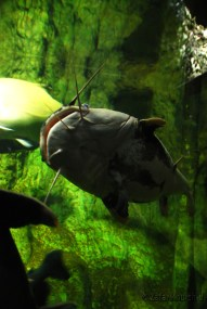 A rather friendly and amusing Catfish posing for the camera