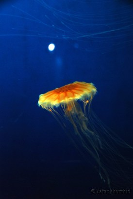 A beautiful Moon Jellyfish dances in the colored waters